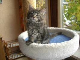 Foto 3 Knuffige Maine Coon Kitten