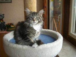Foto 4 Knuffige Maine Coon Kitten