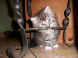 Foto 2 Knuffige Maine Coon Kitten