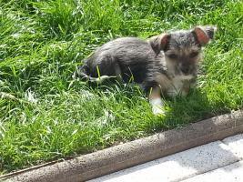 Knuffiger Chihuahua Malteser Mix Welpe bereit für sein neues Zuhause