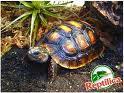 Köllerschidkröten