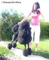 Königspudel schwarz Welpen zu verkaufen