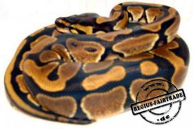 Königspython (Python regius) ENZ 2013
