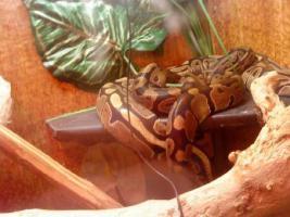 Königspython (Python regius) + allem Zubehör +Terrarium