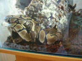 K�nigspython inkl. Glasterrarium, Unterschrank und Deko