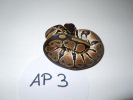 Foto 3 K�nigspython / Python Regius NZ 2012