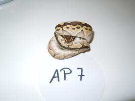 Foto 6 K�nigspython / Python Regius NZ 2012