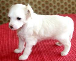 Foto 4 Körzucht von chinesischen Schopfhund