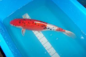 Foto 4 Koi Biotopfische Teichbesatz und Zubehör vom Koi-Center Schafflund