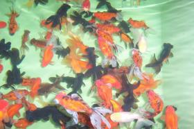Foto 7 Koi Biotopfische Teichbesatz und Zubehör vom Koi-Center Schafflund