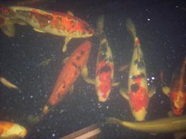Foto 2 Koi-Karpfen verschiedener Größe