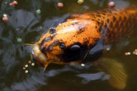 Foto 3 Koi. Muscheln, Biotopfische, Zubeh�r vom Koi-Center Schafflund