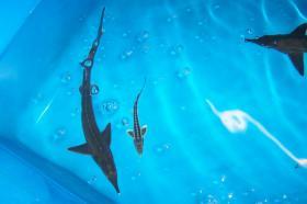 Foto 5 Koi. Muscheln, Biotopfische, Zubehör vom Koi-Center Schafflund