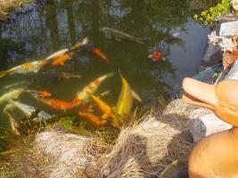 Koi nachwuchs jumbo koi fledermausbarben von privat for Teichfische nrw
