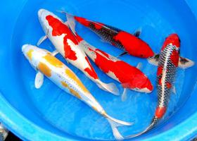 Koi - Teichfische - Muscheln - Krebse // Fa.Fördefisch