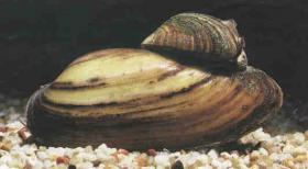 Foto 6 Koi - Teichfische - Muscheln - Krebse // Fa.Fördefisch