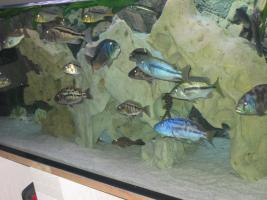 Foto 2 Komplett Aquarium 720 Liter und Malawi Räuber