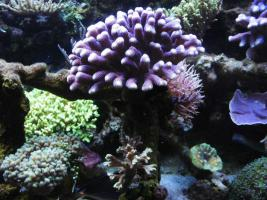 Foto 2 Korallenableger zu verkaufen