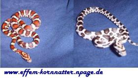 Kornnatter/Miami/Charcoal(Black-Albino)Anerythristic Typ B/Snow/Fluorescent-Orange/Classik/Okeetee