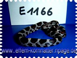 Foto 4 Kornnatter/Miami/Charcoal(Black-Albino)Anerythristic Typ B/Snow/Fluorescent-Orange/Classik/Okeetee