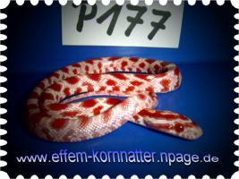 Foto 6 Kornnatter/Miami/Charcoal(Black-Albino)Anerythristic Typ B/Snow/Fluorescent-Orange/Classik/Okeetee