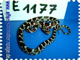 Foto 2 Kornnatter/Miami/Charcoal(Black-Albino)Anerythristic Typ B/Snow/Fluorescent-Orange/Classik/Okeetee