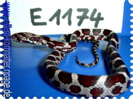 Foto 8 Kornnatter/Miami/Charcoal(Black-Albino)Anerythristic Typ B/Snow/Fluorescent-Orange/Classik/Okeetee