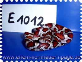 Foto 11 Kornnatter/Miami/Charcoal(Black-Albino)Anerythristic Typ B/Snow/Fluorescent-Orange/Classik/Okeetee