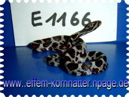Foto 13 Kornnatter/Miami/Charcoal(Black-Albino)Anerythristic Typ B/Snow/Fluorescent-Orange/Classik/Okeetee