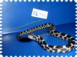 Foto 16 Kornnatter/Miami/Charcoal(Black-Albino)Anerythristic Typ B/Snow/Fluorescent-Orange/Classik/Okeetee