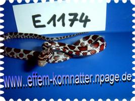 Foto 20 Kornnatter/Miami/Charcoal(Black-Albino)Anerythristic Typ B/Snow/Fluorescent-Orange/Classik/Okeetee