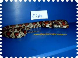 Foto 23 Kornnatter/Miami/Charcoal(Black-Albino)Anerythristic Typ B/Snow/Fluorescent-Orange/Classik/Okeetee