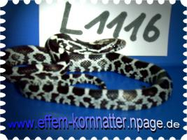 Kornnatter/Miami/Charcoal(Black-Albino)Anerythristic Typ B/Snow/Fluorescent-Orange/Classik/Okeetee