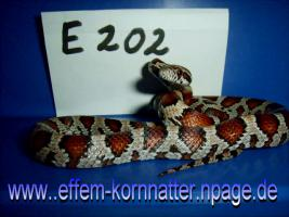 Foto 9 Kornnatter/Miami/Charcoal(Black-Albino)Anerythristic Typ B/Snow/Fluorescent-Orange/Classik/Okeetee