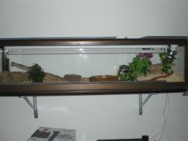 Kornnatter Striped mit Terra und viel Deko !