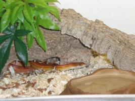 Foto 2 Kornnatter Striped mit Terra und viel Deko !