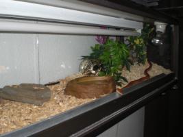 Foto 3 Kornnatter Striped mit Terra und viel Deko !