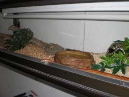Foto 4 Kornnatter Striped mit Terra und viel Deko !