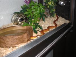 Foto 5 Kornnatter Striped mit Terra und viel Deko !