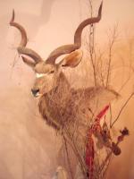 Foto 2 Kudu Kopf- u. Schulterpräparation auf Podest