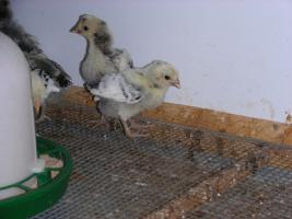 Foto 2 Küken-Appenzeller Spitzhauben, Brahma blau und Ko Shamo