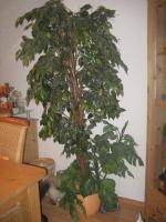 Kunst-Ficus ca. 2,00 m in top Qualität - täuschend echt!!!