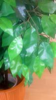 Foto 3 Kunstpflanze Ficus Benjamini grün 1,40 Meter