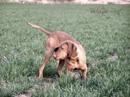 Foto 5 Kurzhaariger Ungarischer Vorstehhund mit Stammbaum