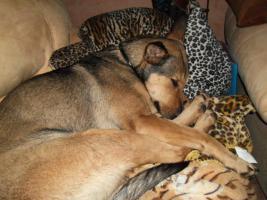 Foto 2 Kuschel Hündin ''Cleo'' aus dem Tierschutz sucht Zuhause bei Ihnen!