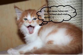 Kuschlige, traumhafte typvolle Maine Coon Kitten von HCM/SMA/PKD getesteten (Gro�)Eltern abzugeben