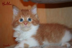 Foto 2 Kuschlige, traumhafte typvolle Maine Coon Kitten von HCM/SMA/PKD getesteten (Gro�)Eltern abzugeben