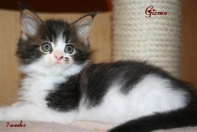 Foto 3 Kuschlige, traumhafte typvolle Maine Coon Kitten von HCM/SMA/PKD getesteten (Gro�)Eltern abzugeben