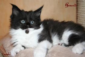 Foto 4 Kuschlige, traumhafte typvolle Maine Coon Kitten von HCM/SMA/PKD getesteten (Gro�)Eltern abzugeben