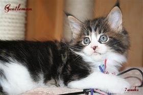 Foto 5 Kuschlige, traumhafte typvolle Maine Coon Kitten von HCM/SMA/PKD getesteten (Gro�)Eltern abzugeben